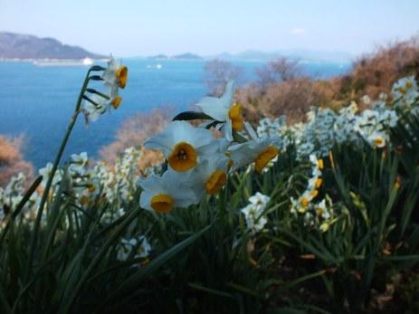 Ogijima Daffodils - 7