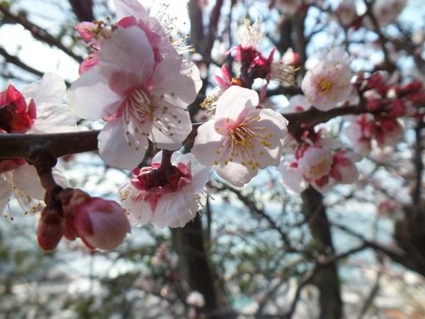 Plum blossom - Ogijima
