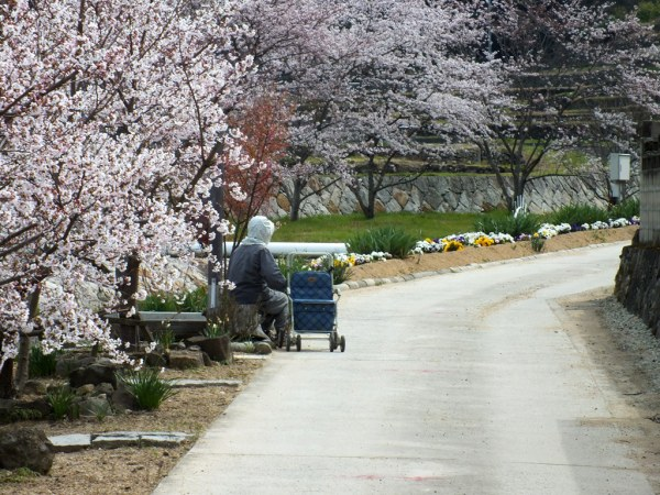 resting under the cherry blossoms