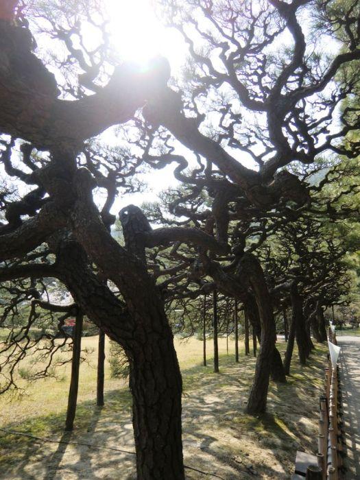 Pines in Ritsurin Garden