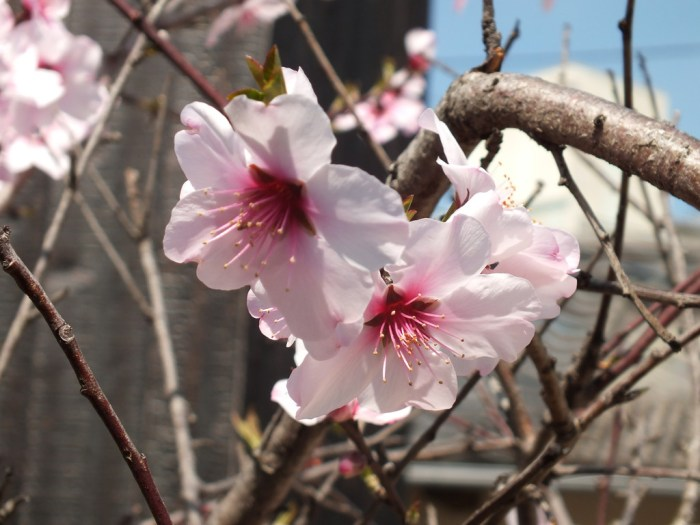 22 - Plum blossoms