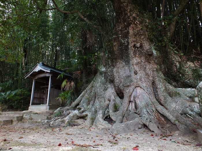 19 - Camphor Tree on Teshima