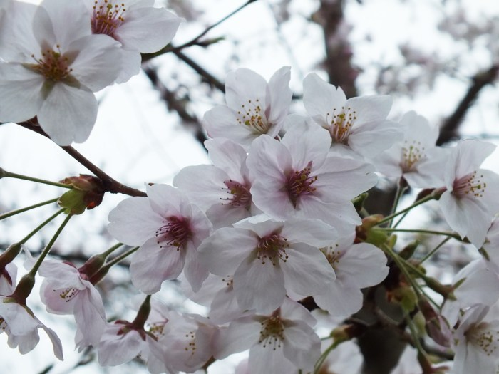 13 - Cherry Blossoms on Naoshima