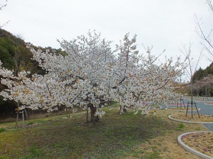 7 - Cherry Blossoms on Naoshima