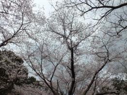 Cherry Blossoms at Kikaku Park 2017 - 14