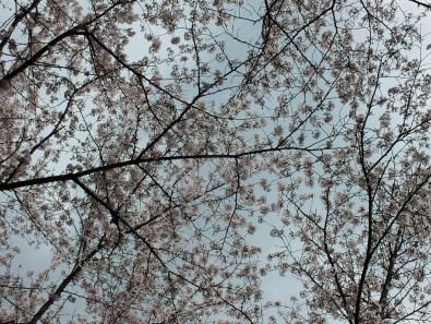Cherry Blossoms at Kikaku Park 2017 - 15