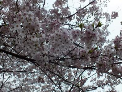 Cherry Blossoms at Kikaku Park 2017 - 17