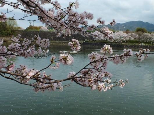 Cherry Blossoms at Kikaku Park 2017 - 25