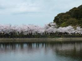 Cherry Blossoms at Kikaku Park 2017 - 3