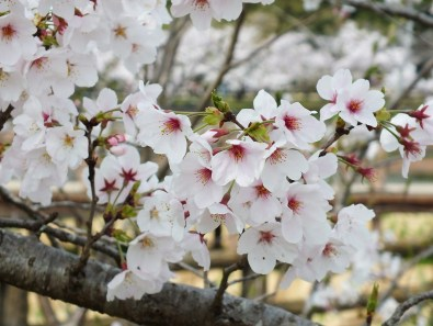 Cherry Blossoms at Kikaku Park 2017 - 5