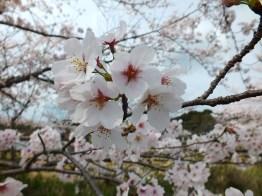 Cherry Blossoms at Kikaku Park 2017 - 6