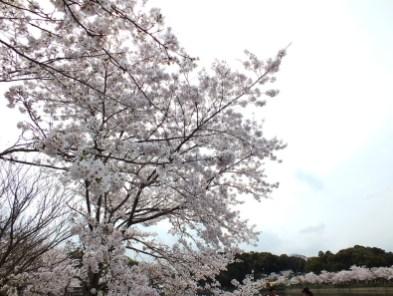 Cherry Blossoms at Kikaku Park 2017 - 8