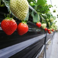 Picking and Eating Strawberries at Ichigoya Skyfarm in Takamatsu