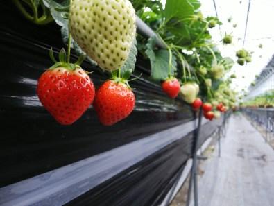 Picking and Eating Strawberries at Ichigoya Skyfarm in Takamatsu - 3