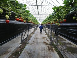 Picking and Eating Strawberries at Ichigoya Skyfarm in Takamatsu - 7