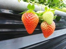 Picking and Eating Strawberries at Ichigoya Skyfarm in Takamatsu - 8
