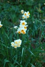 It's daffodil season!