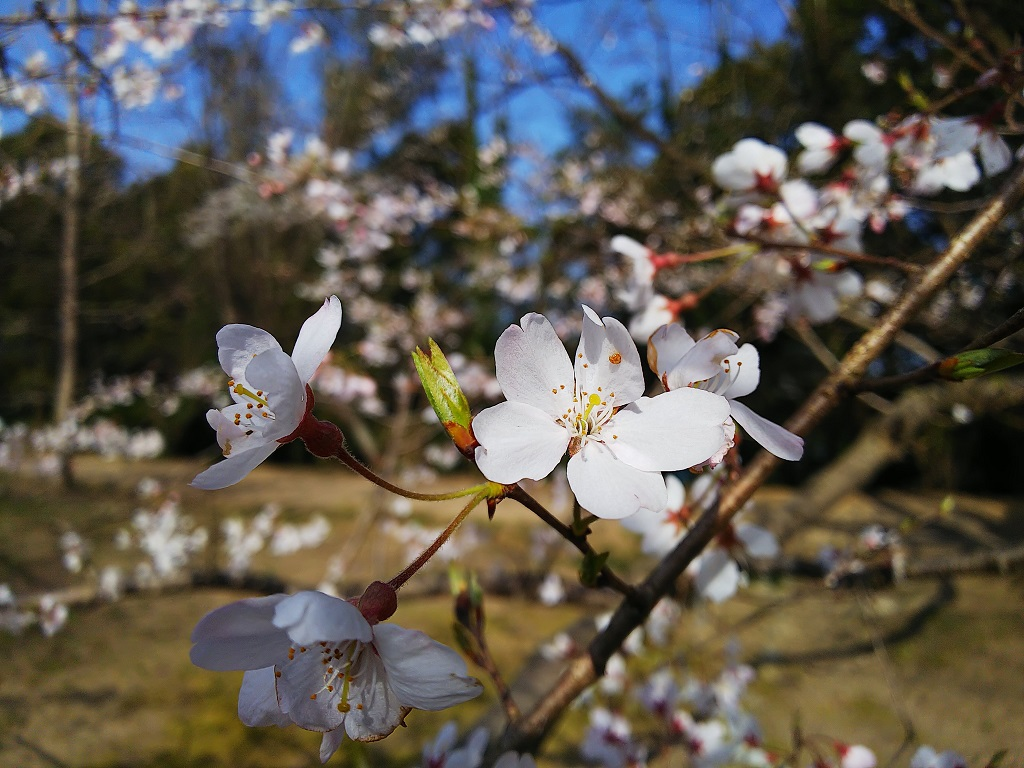 The First Cherry Blossom of the Year