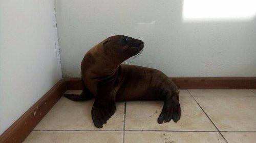 Rescatan un lobo marino tirado en una calle de Morelia