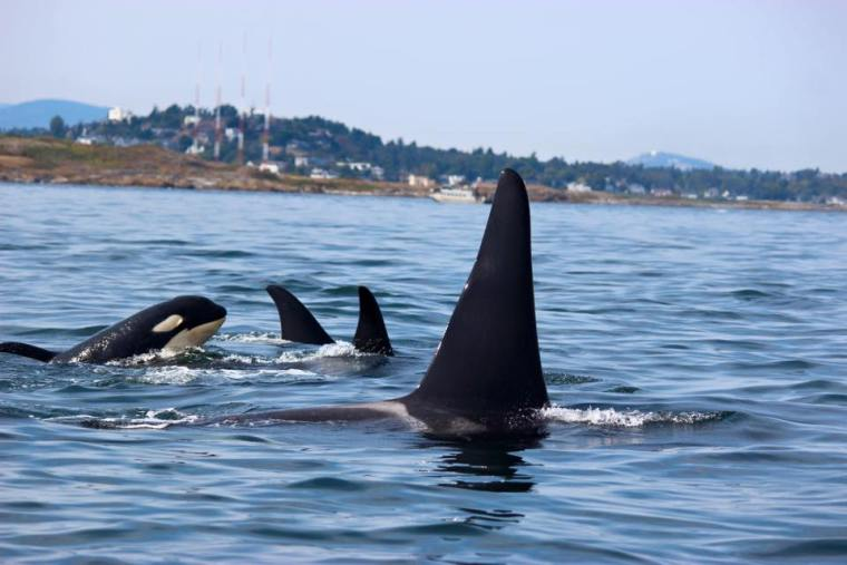 Whale Watching, Orca In The Wild of Canada!