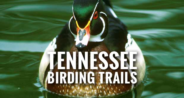 New Tennessee Birding Trails Website Directs Bird Watchers to Sevier County