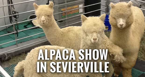 Southern Select Alpaca Show in Sevierville