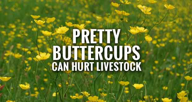 Controlling Toxic Buttercups in Pastures