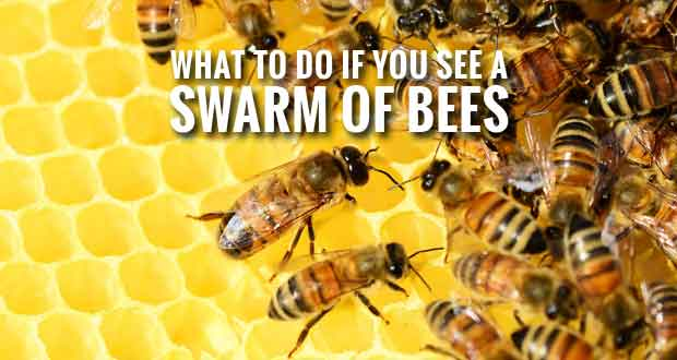 A swarm of bees may look scary... but here's what you should do!