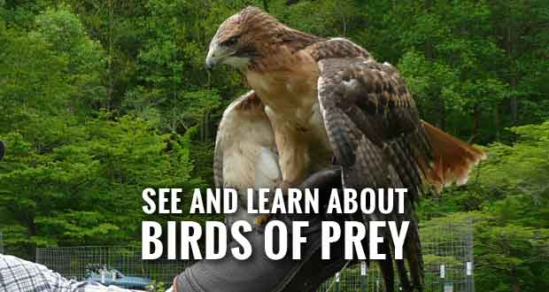Balsam Mountain Trust Giving Birds of Prey Program in the Smokies