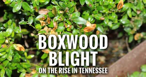 Preventing and Eradicating Boxwood Blight in Your Garden
