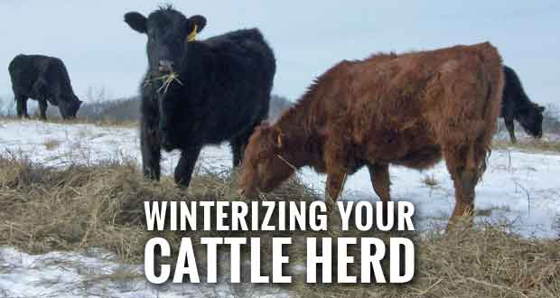 UT Veterinarian Answers Questions about Winter Herd Management