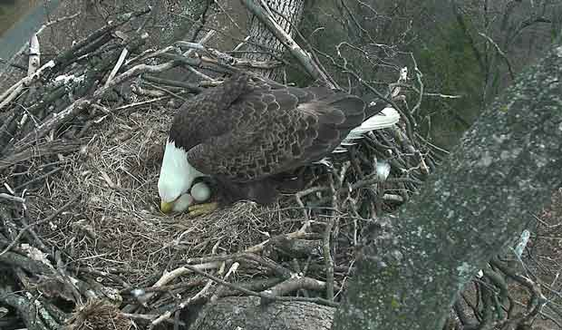Bald Eagles Mr. President and The First Lady to Hatch Eaglets Live via Nest Cam