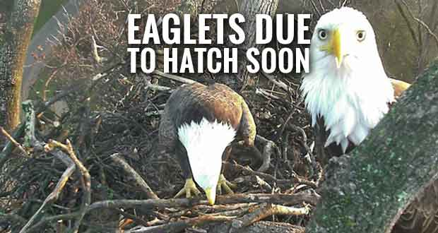 Mr. President and The First Lady to Hatch Eaglets Live via Nest Cam