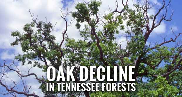 Last Year's Drought May Spur Oak Decline in Tennessee