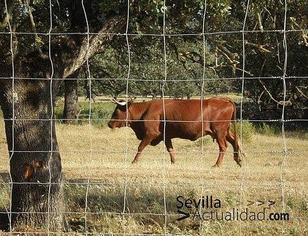 vaquilla-toro-vaca-dehesa
