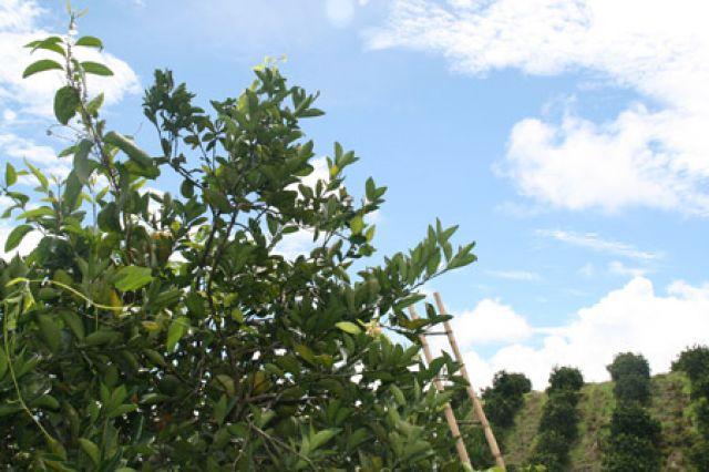 La naranja es el principal cultivo de la provincia durante estos días