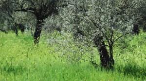 olivos-generico