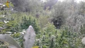 Cultivos de cannabis en el Guadiamar /Guardia Civil