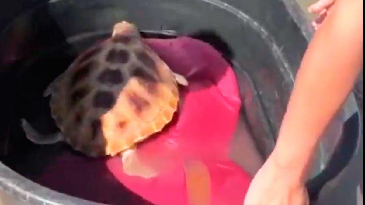 Tortuga marina liberada