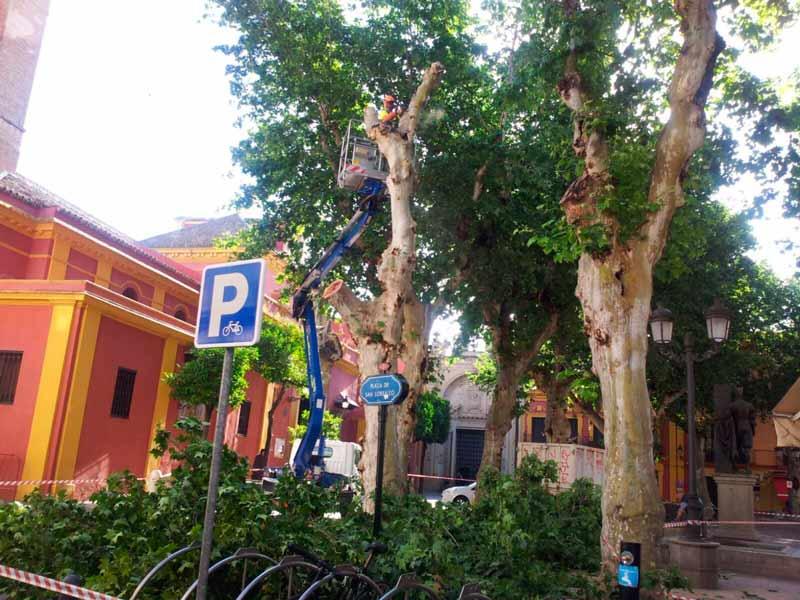 El Ayuntamiento talará ejemplares de olmo, robinia, ficus y acacia.