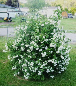 The inspirational snowball bush. So many flowers!