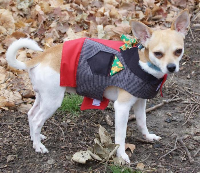 small dog in dressy vest outfit