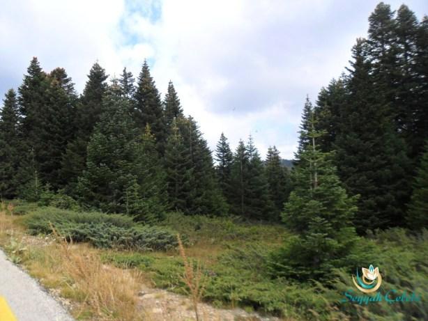Uludağ Çam Ağaçları