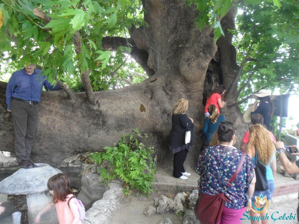 Gölyazı Ağlayan Çınar Ağacı Fotoğrafı