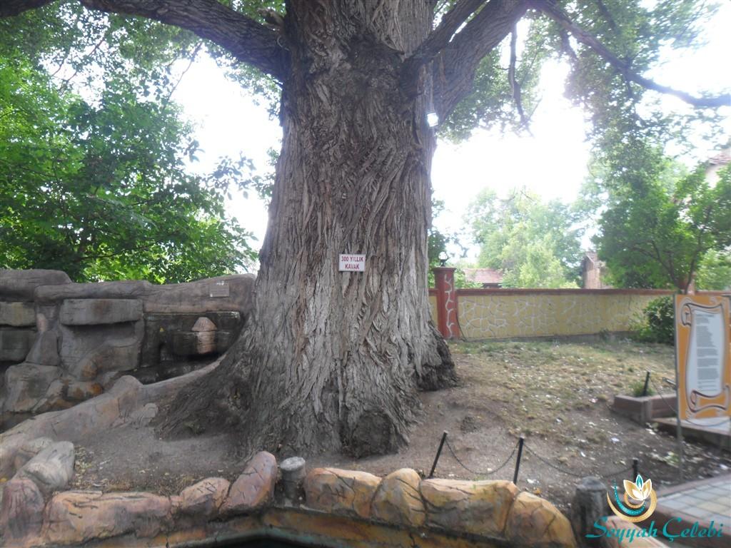 Ilıcaksu Sarıkız 300 Yıllık Kavak Ağacı