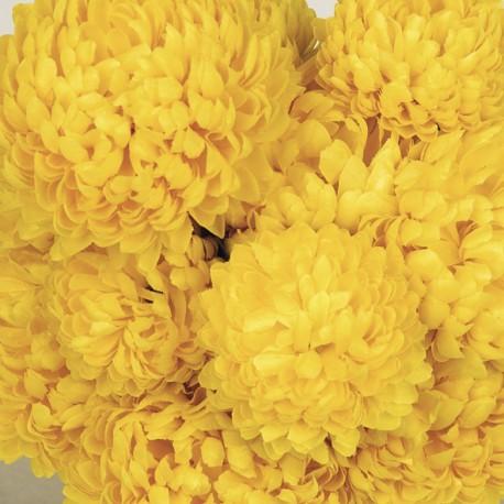 coupe-chrysantheme JAUNE