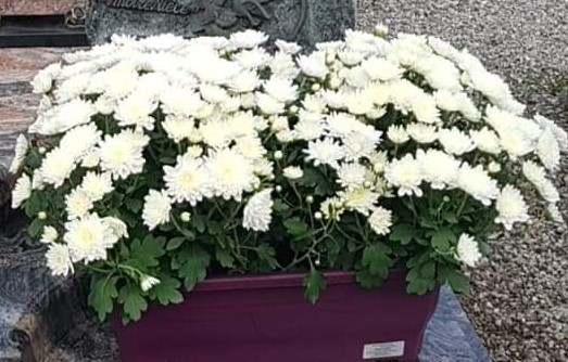 jardiniere pomponettes blanches