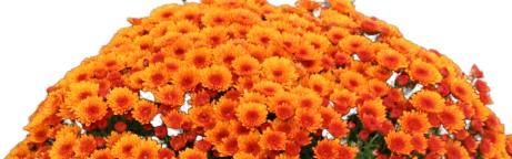 Pomponnette orange