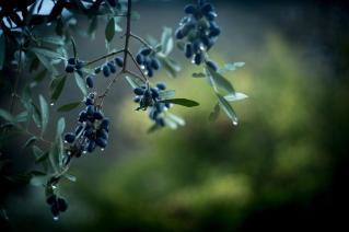 I rischi per i lavoratori nella raccolta delle olive