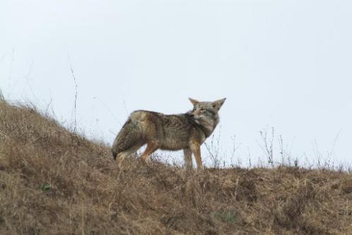 https://i0.wp.com/www.sfgate.com/blogs/images/sfgate/opinionshop/2007/07/16/coyote06_PH04498x333.JPG